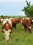 Gregge delle mucche su un prato Fotografia Stock Libera da Diritti