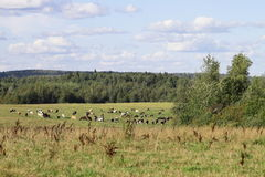 Gregge delle mucche su un prato soleggiato verde con erba fresca Fotografia Stock