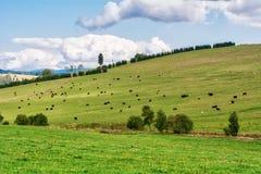 Gregge delle mucche su un prato verde con erba fresca Fotografia Stock