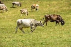 Gregge delle mucche sul pascolo alpino, alpe di Cainallo, Italia Fotografie Stock