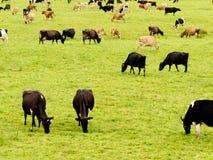 Gregge delle mucche sul pascolo verde fertile del prato Fotografia Stock Libera da Diritti