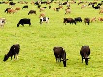 Gregge delle mucche sul pascolo verde fertile del prato Fotografia Stock