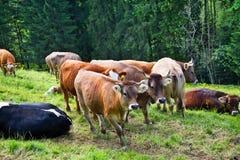 Gregge delle mucche sul prato Fotografie Stock Libere da Diritti