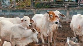 Gregge delle mucche tailandesi bianche con le grandi orecchie che pascono sul pascolo nel fango stock footage