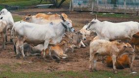 Gregge delle mucche tailandesi che pascono su un pascolo sporco in Asia Apra il campo dell'azienda agricola della mucca thailand stock footage