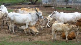 Gregge delle mucche tailandesi che pascono su un pascolo sporco in Asia Apra il campo dell'azienda agricola della mucca thailand archivi video