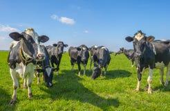 Gregge delle mucche in un prato verde sotto un cielo blu al sole i immagine stock