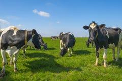 Gregge delle mucche in un prato verde sotto un cielo blu al sole i fotografia stock