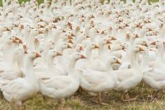 Gregge delle oche domestiche bianche Fotografia Stock