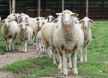 Gregge delle pecore Fotografia Stock Libera da Diritti