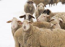 Gregge delle pecore Immagine Stock