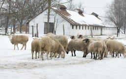 Gregge delle pecore Immagine Stock Libera da Diritti