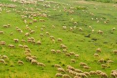 Gregge delle pecore Fotografie Stock