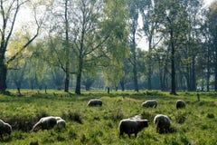 Gregge delle pecore Immagini Stock