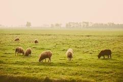 Gregge delle pecore al prato dell'azienda agricola Fotografie Stock