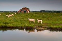 Gregge delle pecore all'azienda agricola dal fiume Fotografia Stock