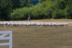 Gregge delle pecore alle prove di cane pastore, Kingston, Ontario immagini stock
