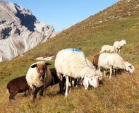 Gregge delle pecore in alpi Immagini Stock Libere da Diritti