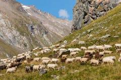Gregge delle pecore alpine che pascono sul pendio ripido in alpi austriache Immagine Stock
