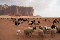 Gregge delle pecore beduine nel deserto Fotografie Stock Libere da Diritti