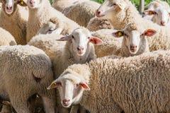 Gregge delle pecore bianche Fotografia Stock Libera da Diritti