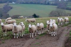 Gregge delle pecore bianche in Wicklow, Irlanda Fotografia Stock