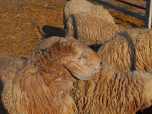 Gregge delle pecore, camminante negli animali da allevamento Fotografia Stock