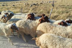 Gregge delle pecore che camminano lungo il bordo della strada immagine stock