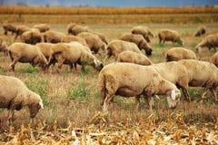 Gregge delle pecore che pasce sul campo di stoppie del grano Fotografie Stock