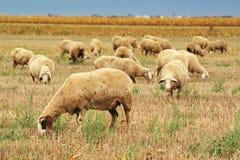 Gregge delle pecore che pasce sul campo di stoppie del grano Fotografia Stock Libera da Diritti