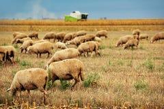 Gregge delle pecore che pasce sul campo di stoppie del grano Immagine Stock