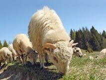 Gregge delle pecore che pascono Immagini Stock