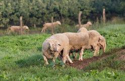 Gregge delle pecore che pascono Fotografia Stock Libera da Diritti