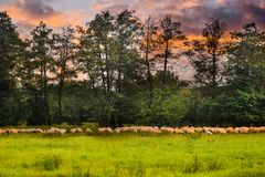 Gregge delle pecore che pascono sul campo verde Foto di riserva disegnata con il bello pascolo e le pecore in Romania fotografie stock