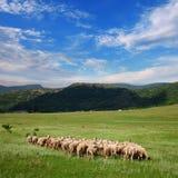 Gregge delle pecore che pascono sul pascolo Fotografie Stock Libere da Diritti