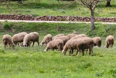 Gregge delle pecore che pascono in un prato Fotografia Stock