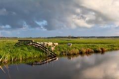 Gregge delle pecore dal fiume sul pascolo Immagini Stock Libere da Diritti