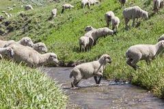 Gregge delle pecore degli agricoltori che attraversa l'insenatura della montagna. Immagine Stock Libera da Diritti