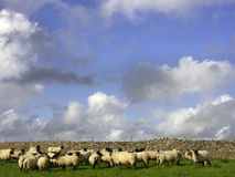 Gregge delle pecore del Blackface davanti alla parete di pietra, Inghilterra, Regno Unito, Europa Fotografia Stock Libera da Diritti