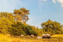 Gregge delle pecore della brughiera del Drenthe nel parco naturale olandese Balloerveld Fotografia Stock Libera da Diritti