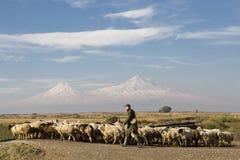 Gregge delle pecore e del pastore con i due picchi del monte Ararat sui precedenti a Yerevan, Armenia Immagine Stock