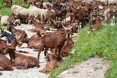 Gregge delle pecore e delle capre Immagine Stock