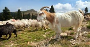 Gregge delle pecore e delle capre in alpi Fotografia Stock Libera da Diritti