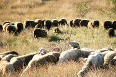 Gregge delle pecore e delle ram Immagine Stock