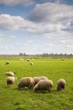 Gregge delle pecore nel campo Immagini Stock Libere da Diritti