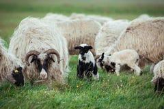 Gregge delle pecore nel prato Immagini Stock Libere da Diritti
