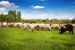 Gregge delle pecore nel prato Fotografia Stock