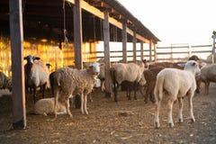 Gregge delle pecore nella penna Immagine Stock