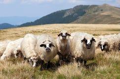 Gregge delle pecore, ovis aries Immagine Stock Libera da Diritti