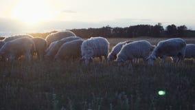 Gregge delle pecore su un'azienda agricola nel tramonto stock footage